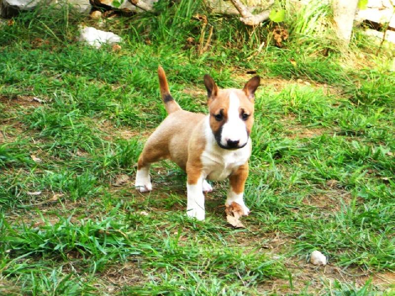 Elevage Tillidie - eleveur de chiens Bull Terrier Miniature